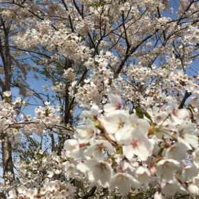 春の花見ライド