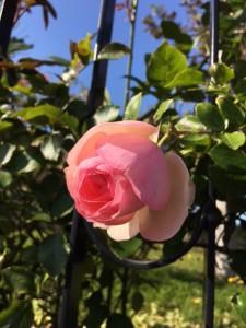 あいの里ロイズのローズガーデン まだ咲いている花がありました。